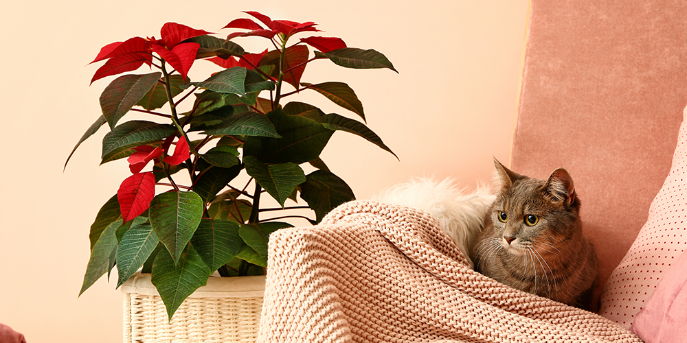 Christmas Plants: Which Are Poisonous? Which Are Safe ...