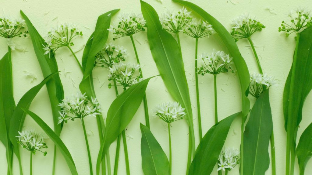 Wild garlic flowers/ramsons - Growing Edible Plants in Shady Spots