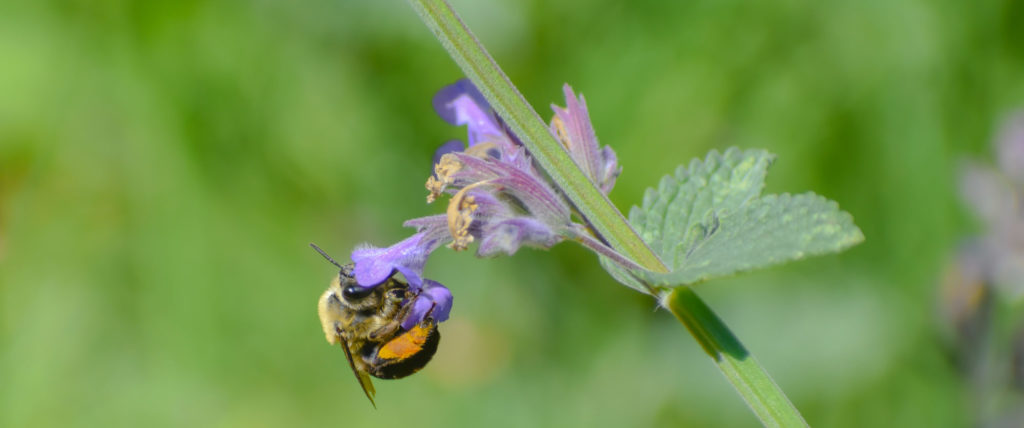 Bee on Catnip. Wallace. Pollinator-Friendly Perennials.