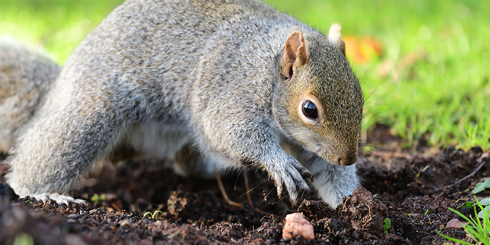 squirrel digging in garden