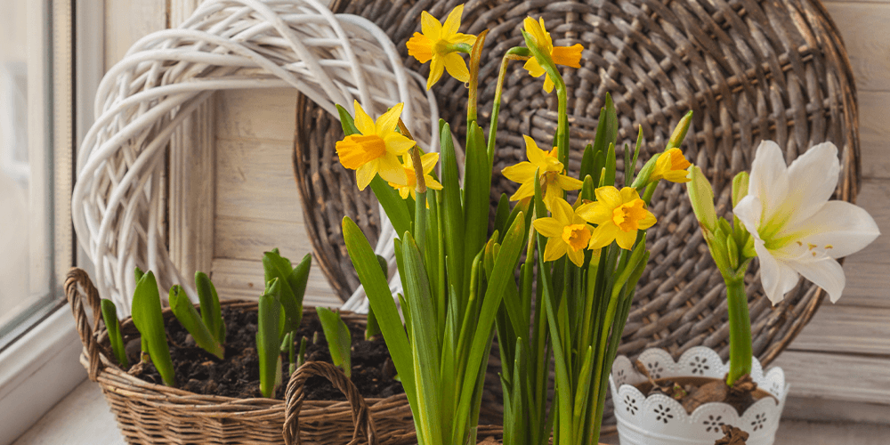 daffodil blooming indoors