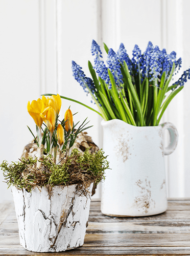 crocus and muscari