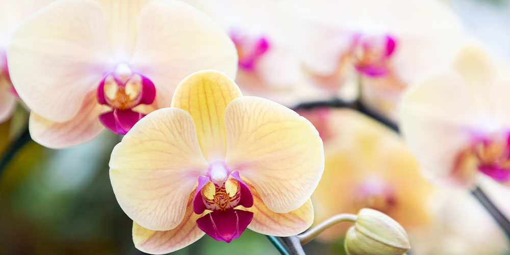 Yellow Moth Orchid Wallace's