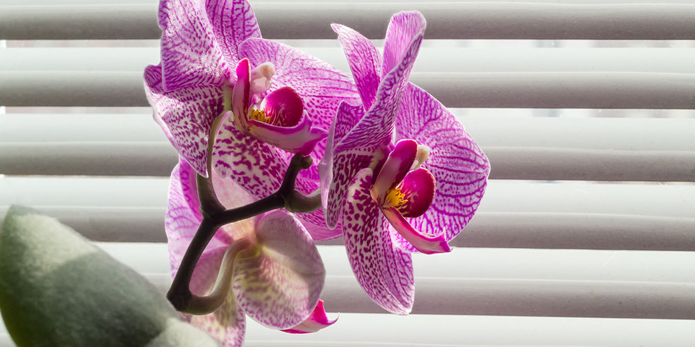 close up of moth orchid by window