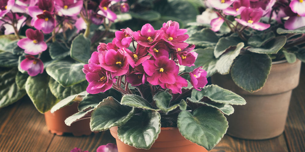 trio of pink blooming African violets