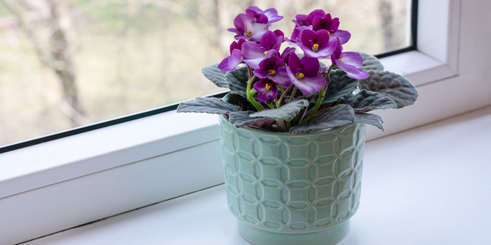 purplbe blooming African violet by window