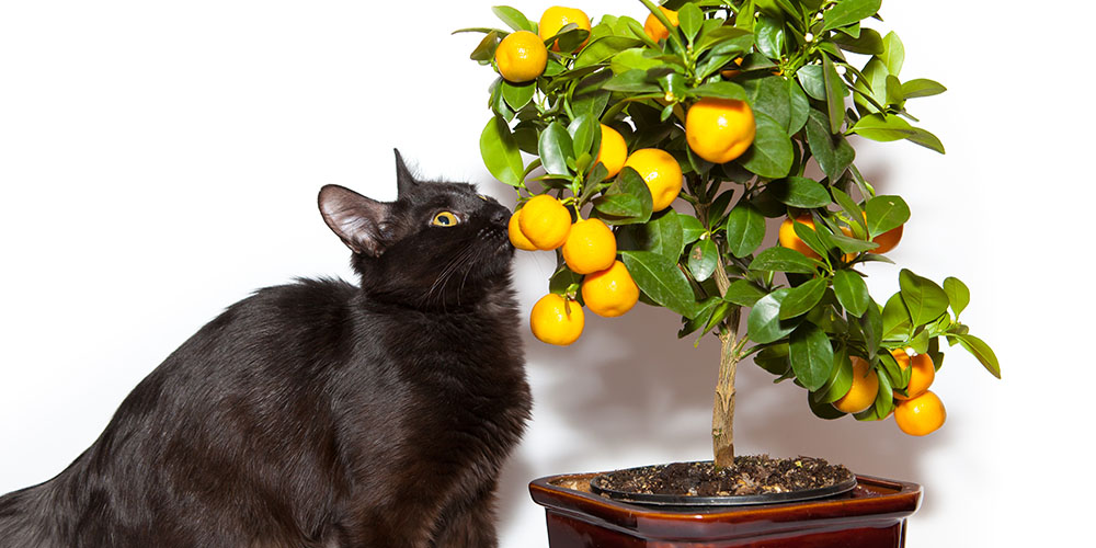cat smelling a potted lemon tree