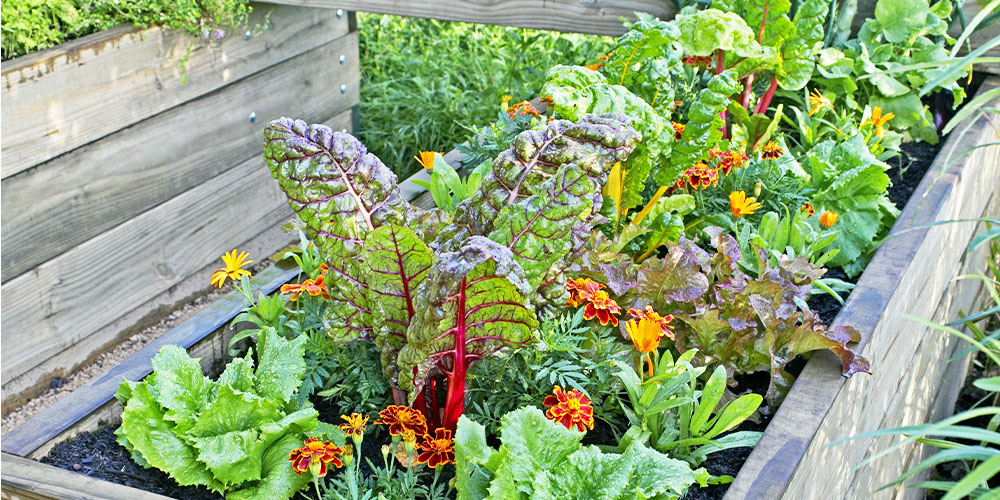 edible garden with swiss chard and marigolds