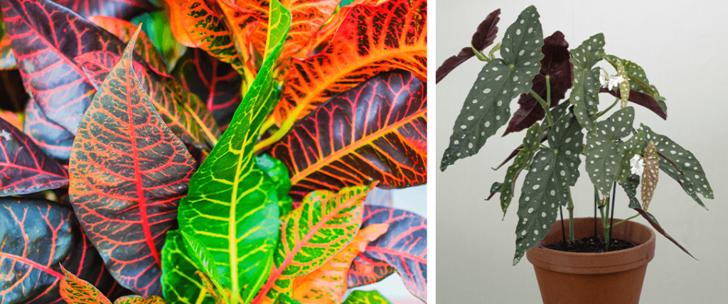 croton plant and angel wing begonia
