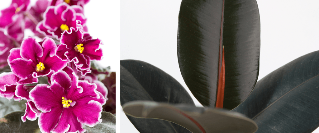 African violet and Rubber Tree plant