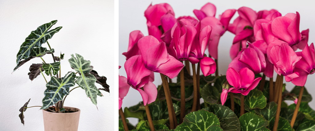African mask plant and cyclamen plant