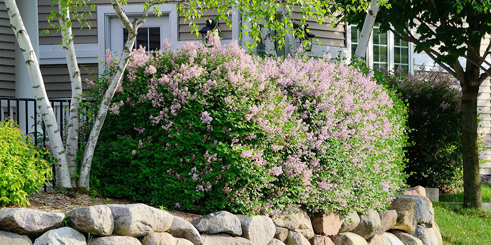 lilac shrubs blooming in spring