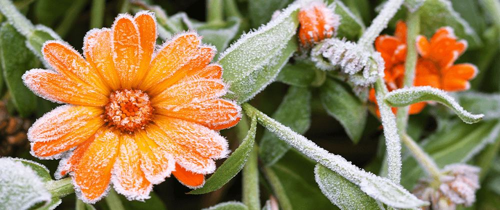 calendula flower with frost