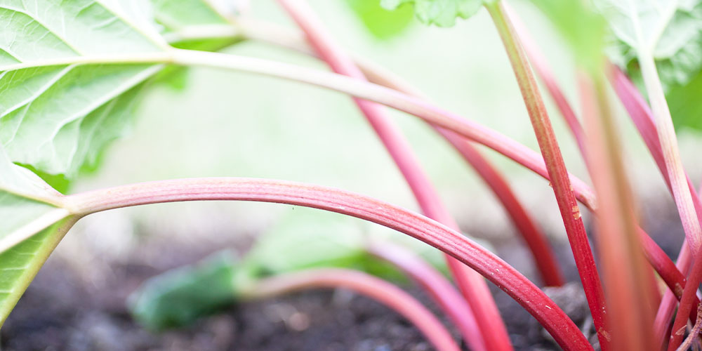 thinly growing rhubarb