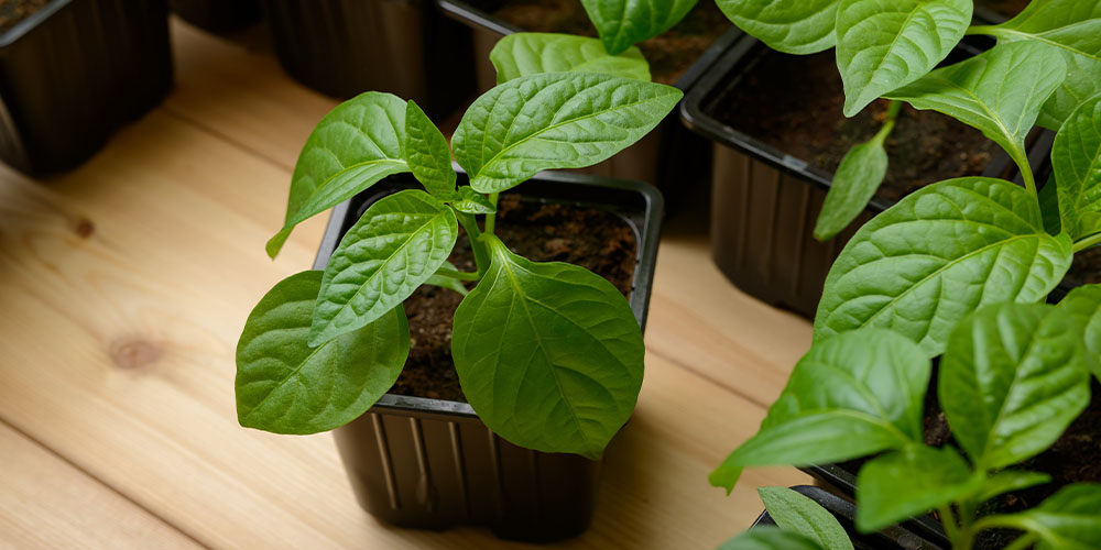 young pepper plants