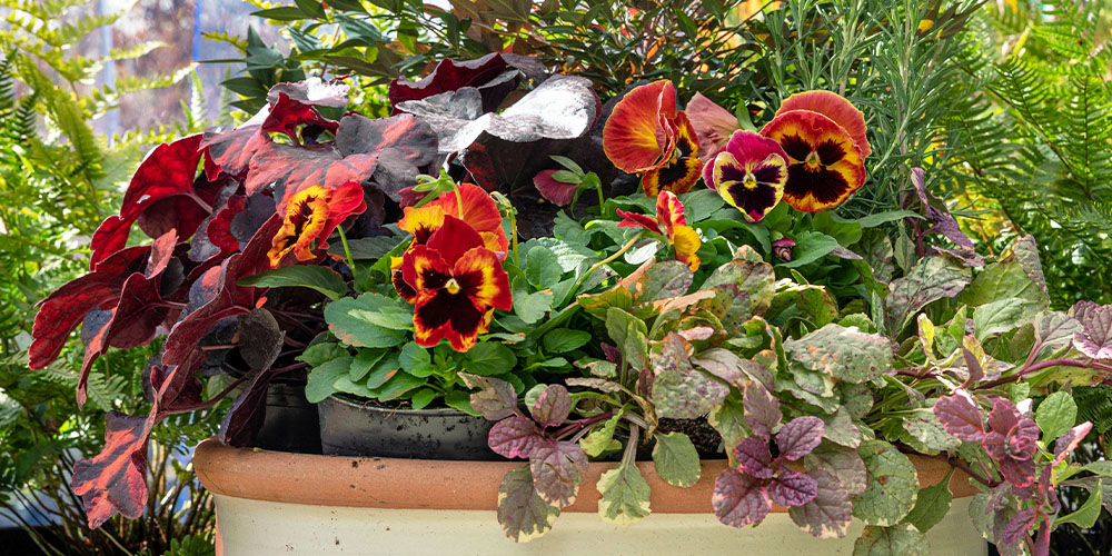 Fall porch planter with pansies and swedish ivy Wallace's garden center